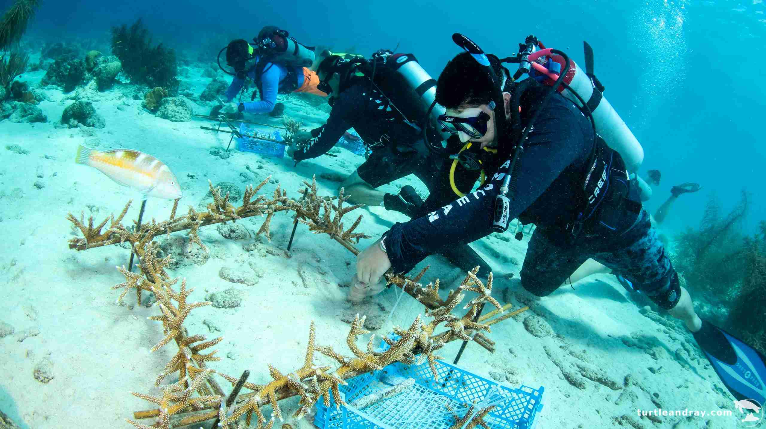 Coral Restoration in Curacao | Ocean Encounters